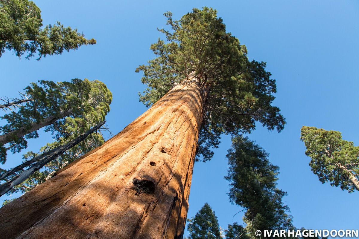 Mighty sequoias in Kings Canyon National Park