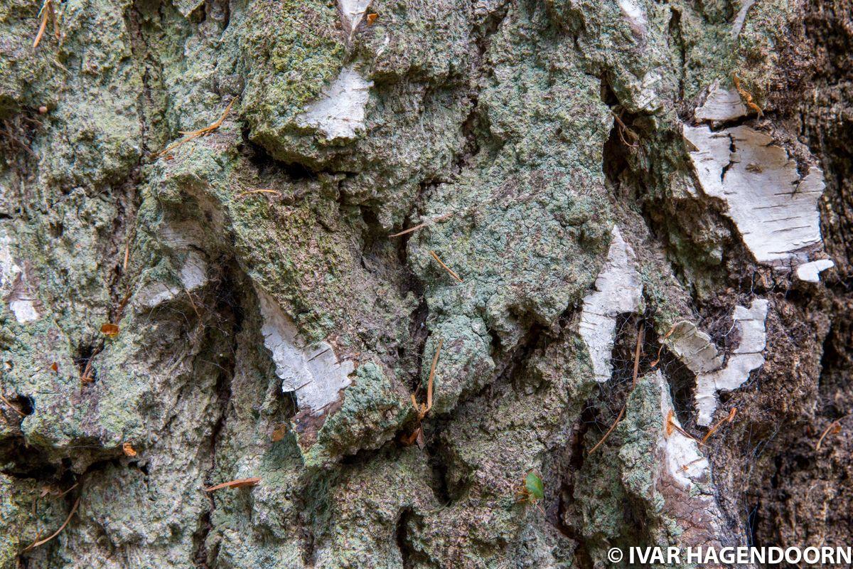 Bark of an old birch