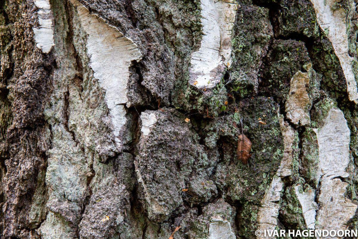 Bark of an old birch
